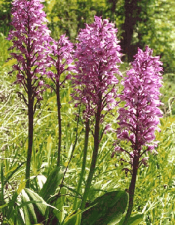 Primo (Orchis)