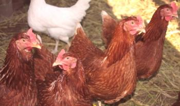 Crítica de Rodonit Chicken Breeds: críticas, videos y fotos.