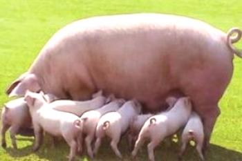 Hipper Pig Breed: foto y descripción