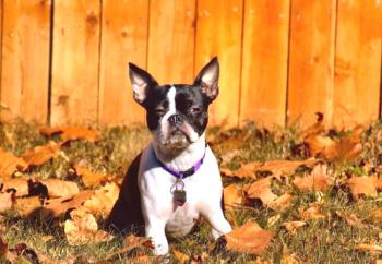 Boston Terrier (foto): energía enérgica y sincera devoción