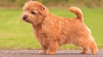 Norfolk Terrier - Una descripción de la raza