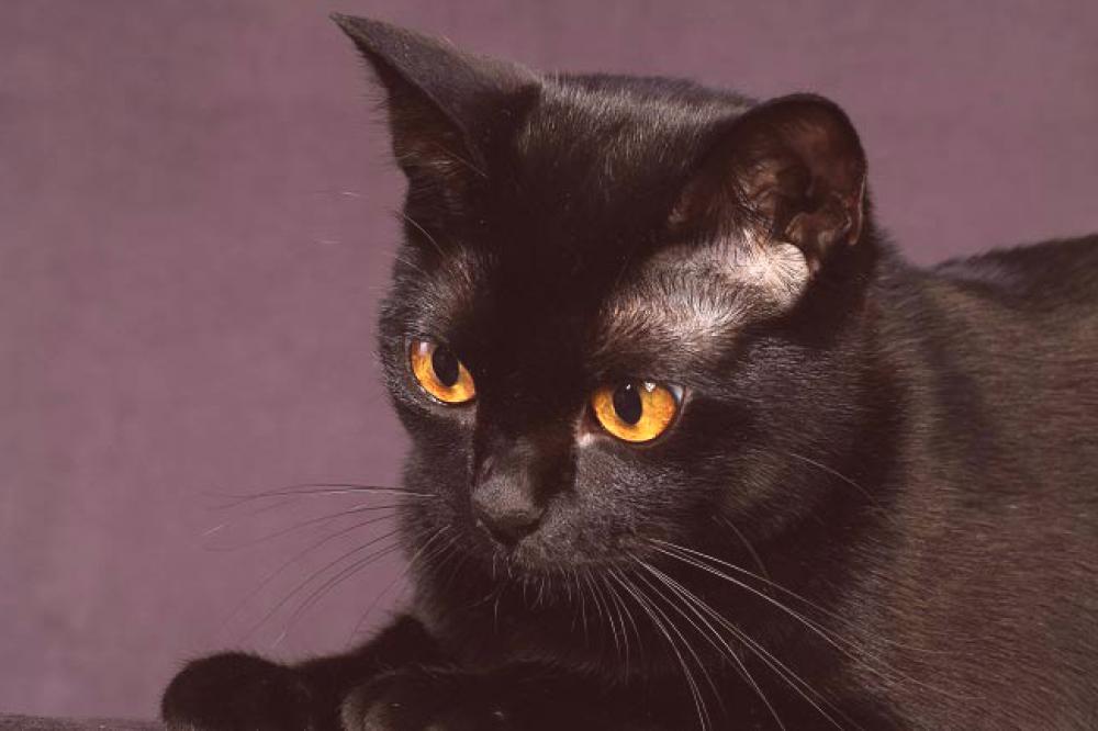 Slike crnih brazilskih maca