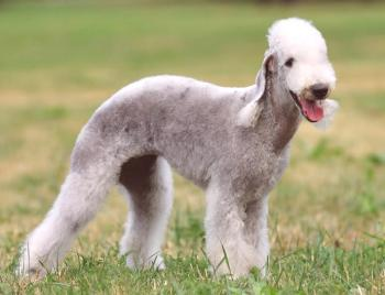 Bedlington Terrier: foto, descripción de la raza, personaje, video