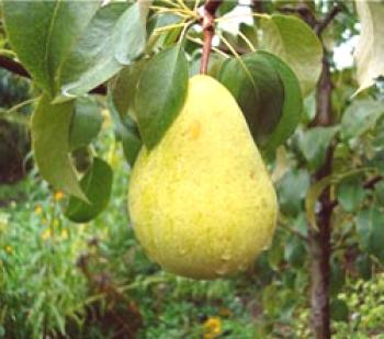 Pear chyzhov descripcion foto opiniones